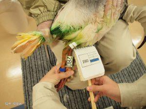 第16回トキ放鳥訓練開始
