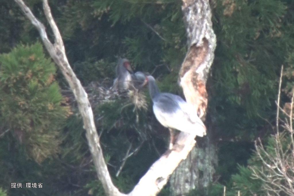 巣材を運ぶトキ
