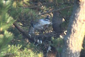 営巣するトキ