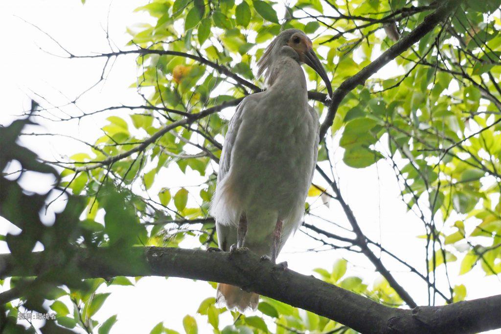 巣外の枝にとまる幼鳥