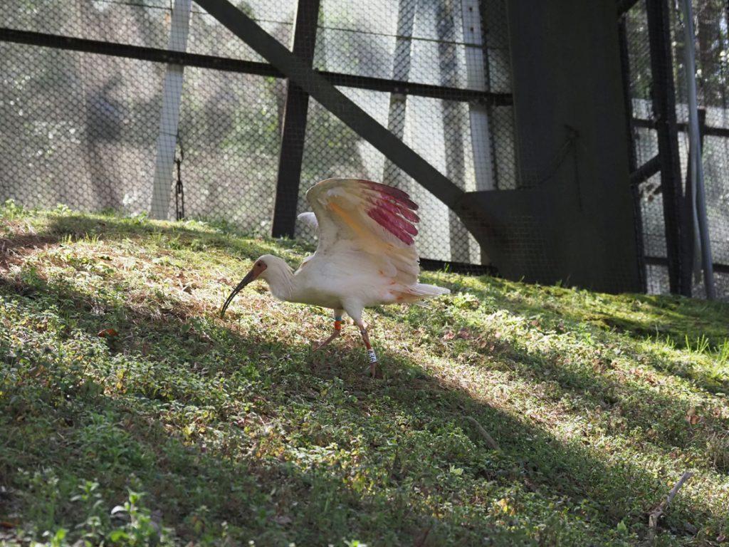 第24回放鳥トキ訓練開始