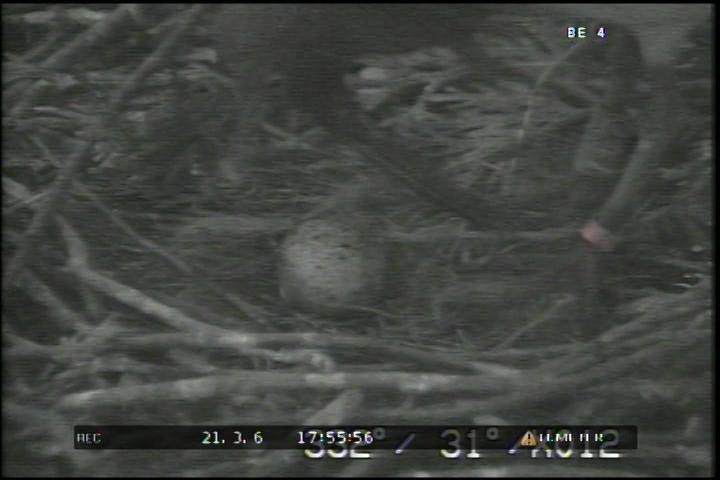 飼育下トキ今期初めての産卵