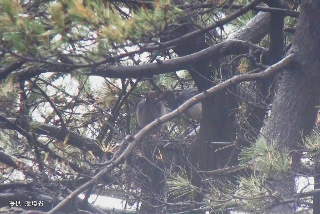 野生下誕生のトキ同士 今季最初の営巣