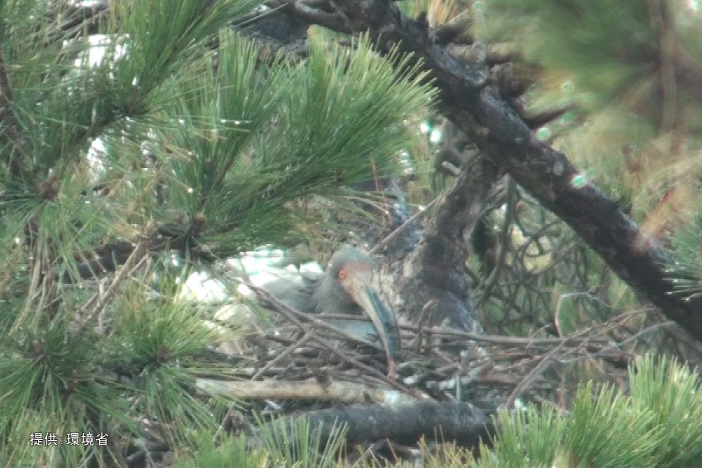 抱卵するトキ