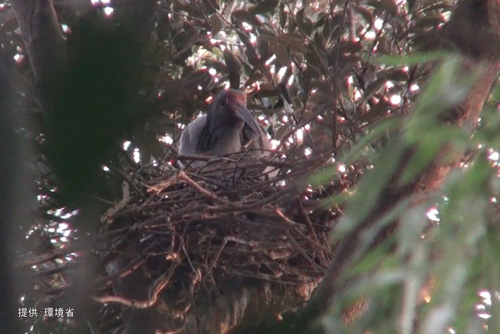 巣を整えるトキ