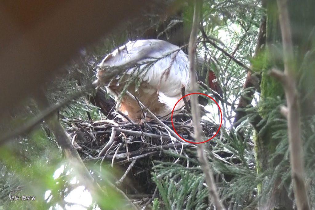 野生下トキの営巣状況