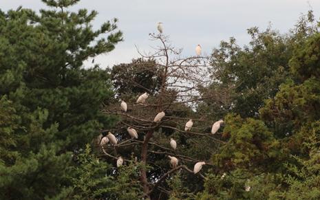 木に集まるトキ